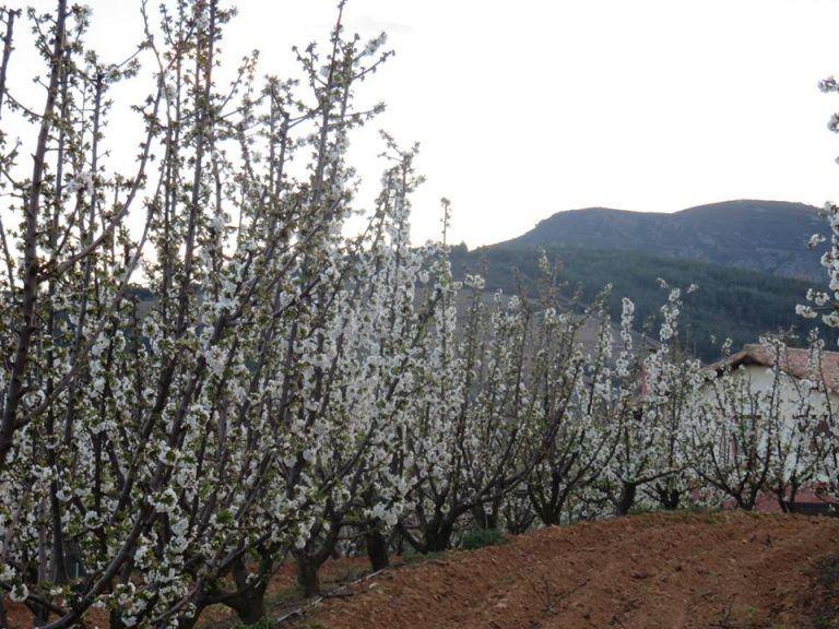 Sotoserrano cerezos en flor