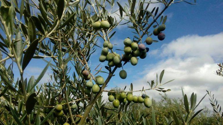 Aceite de oliva Sotoserrano
