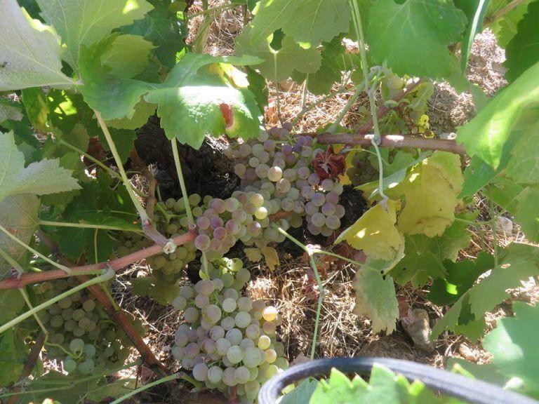 visita guiada viñedos sotoserrano