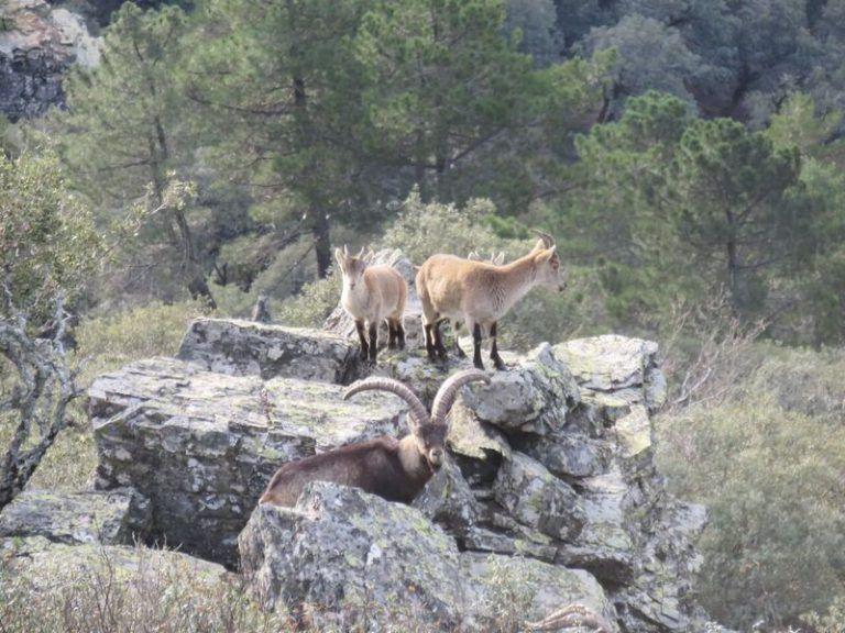 cabras montesas sierra de francia